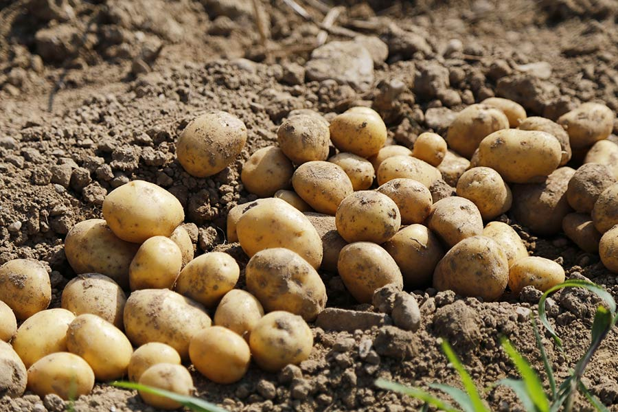 Kartoffeln von Brothof Waake